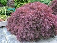 acer-palmatum-dissectum-garnet-dissected-leaf-jap-maple-plant-in-9cm-pot