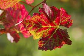 Hochwertige Bein- und Venencreme mit rotem Weinlaub, Roßkastanie, Ringelblume, Kamille und Arnika; für ein gutes Gefühl in den Beinen;...