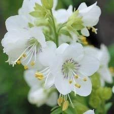FERRY Keim Seeds: Jakobsleiter, griechische Samen, (100 Seeds) Charity (White Pearl)