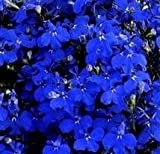 Lobelia - Riviera Midnight Blue - 1000 Seeds