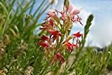 200 Semi, Grande fiorito Gaura, Farfalla Fiore