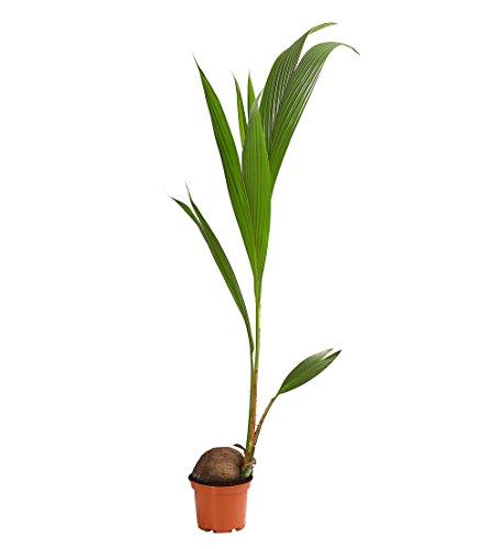 Dehner Kokospalme, prächtige Blattwedel, ca. 150-160 cm, Zimmerpalme