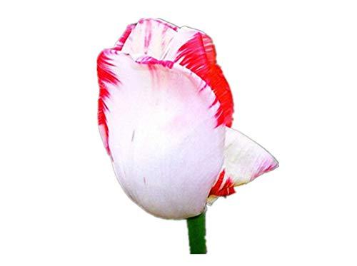 KINGDUO Egrow 10Pcs Parfum Tulip Graines À Haute Teneur Bonsai Graines De Fleurs Vivaces Accueil Jardin Plantation-4