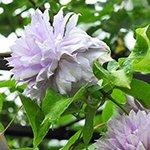 Pinkdose 1 stücke Clematis birne bonsai schnell wachsende gartenblume chinesische lianas kletterpflanze regenbogen blume für garten: 20