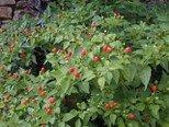 Pequin Chili 10 Samen -Mini Chili- Super Ertrag