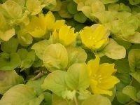 OBI Für feuchte Stellen im Garten, am Wasserrand und für die Balkonbepflanzung