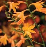 FERRY Keim Seeds: 10Pcs / Lot Crocosmia, Montbretia Samen Bonsai Topf sät DIY Hausgarten