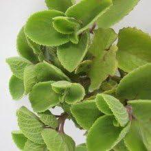 plantsguru Ova Ajwain Leaves Plant (Multicolour)