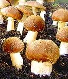 Inkeme Giardino - Semi di boletus biologici Semi di boletus freschi Funghi commestibili Funghi nobili perenni hardy Pianta i tuoi funghi!