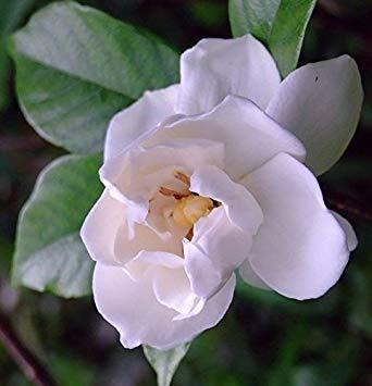 plentree 50 semi capo jasmine gardenia - facile da coltivare
