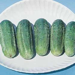 Wisconson SMR 58 25 graines de concombre