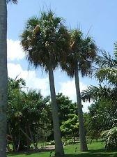 10 frais Sabal Causiarum HARDY portoricaine HAT PALMETTO Seeds !!