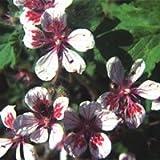 Il vous suffit de graines de fleurs???Erodium Pelargoniiflorum 50?graines???Grande bo?te