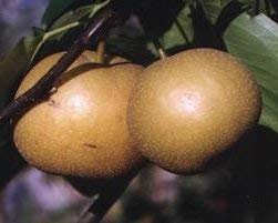 PLAT FIRM: 10 Samen der asiatischen Birne 3396 (Nashi-Birne) -