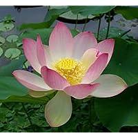 FES Quintessentials Flower Essences Services Lotus 30ml Dosage by NaturesWisdom.co.uk preisvergleich bei billige-tabletten.eu