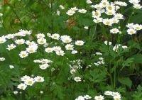 Seedeo Mutterkraut (Chrysanthemum parthenium) 100 Samen von Seedeo auf Du und dein Garten