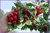 Arbre fruitier nain pour terrasse - Cerisier - Variété