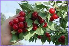arbol-frutal-enano-para-patio-cereza-variedad-morello-aprox-75-cm-de-alto-