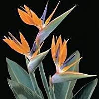 5 TROPICAL BIRD OF PARADISE Strelitzia Reginae