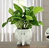 Beautiful Indoor Money Plant With white Ceramic Elephant pot (Live Green)