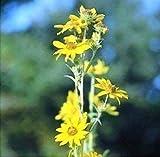 SONIRY Germinación de Las Semillas: Semillas Bonsai Online La Leyenda Jardín ILIAN ramificación D3329 (Amarillo) 100 polinización Abierta