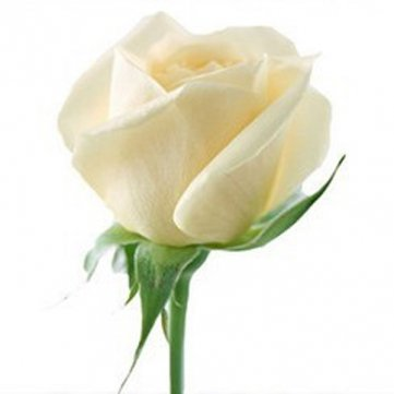 Souked 20 White Rose Fleur Rose3 Seeds