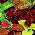 """Saatgut, Buntnessel, """"Super Rainbow""""-Mischung, 250 Samen von Nuts n' Cones bei Du und dein Garten"""