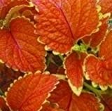 Coleus - Wizard Sunset - 50 Seeds