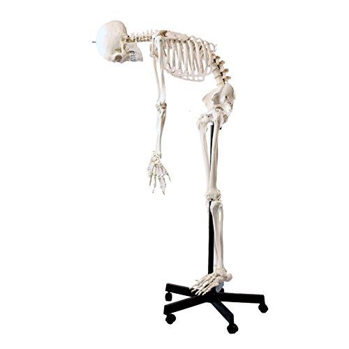 S24.1236 Modelo anatómico de esqueleto, flexible, tamaño real