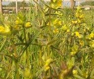Just Seed Britische Wildblume Gelb Rassel Rhinanthus minor), Britische Wildblume, 3000 Samen