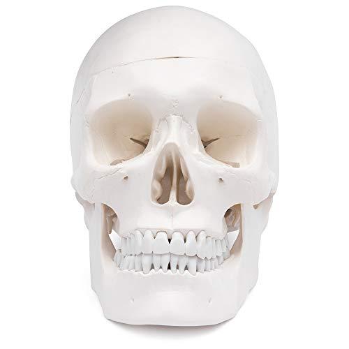 Zoom IMG-1 s24 2400 cranio umano modello