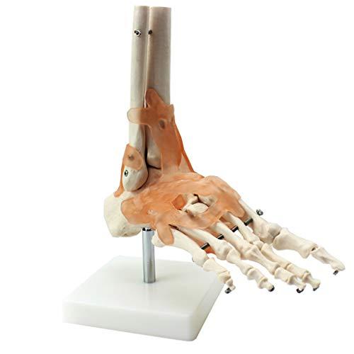 ZKKK Gelenk des menschlichen Fußes mit Bändern Anatomisches Modell Lebensgroße Anatomie des menschlichen Skeletts Medizinische Ausbildungshilfe