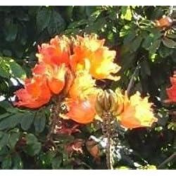 Seedeo Afrikanischer Tulpenbaum (Spathodea campanulata) 30 Samen