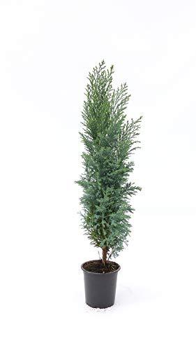 "20 Stk. Premium winterharte Koniferen""Ellwoodii"" Zypressen Heckenpflanze Konifere Thuja"