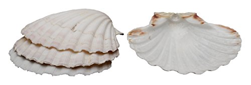 Harold 4' Natural Seashell Baking Cooking Serving Decorative Craft Shells 4-Pack