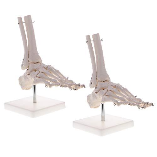 CUTICATE 2 Sätze 1: 1 Lebensgroße Lernressourcen Modell des Menschlichen Skelettfußes Und des Sprunggelenks Mit Display Base School Teaching Display