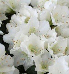 Japanische Azalee Diamant Weiß 20-25cm - Rhododendron obtusum - Zwerg Alpenrose