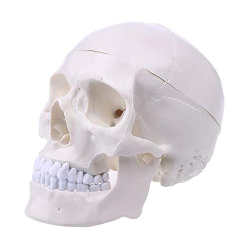 1:1 Anatomie Modell Kopf,Menschlicher Schädel, Anatomisches Modell Des Menschlichen Kopfes Geeignet Als Lernmodell Oder Lehrmittel Zur Untersuchung Von Funktion