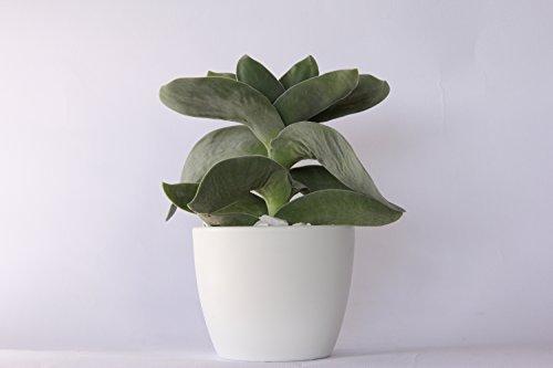 Piante grasse rare vere crassula falcata vaso terracotta for Piante rare