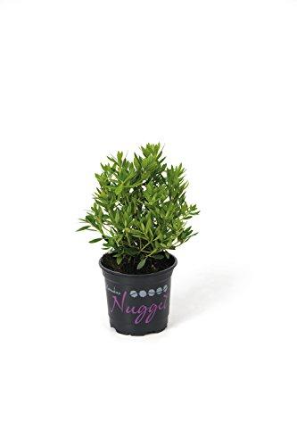 !!WELTNEUHEIT!! Bloombux® - flower & form by INKARHO® 15-20 cm Nugget Trail zu 10 Pflanzen
