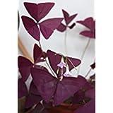 3 Packungen 6 von Red Oxalis Woodsorrel Triangularis Blumensamen A058