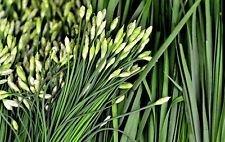 Semi di erba cipollina aglio, erbe, Allium tuberosum, Heirloom, NON-OGM, (600)