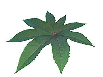 FERRY Keim Seeds: Ricinus Castor Bean (Ricinus Red) 100 Seeds Big Pack/Großpackung - Castor Bean