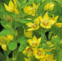 Plant World Seeds - Lysimachia Punctata Seeds