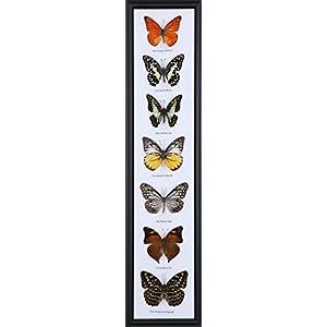 7 Schmetterlinge (Jeder rahmen anders ist) | Entomologie Taxidermie Innendekoration | 54 x 12,5 cm
