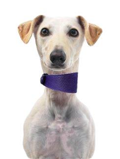 Cani & Co morbido cuoio affusolate collari per Whippets & Hounds.UVA viola