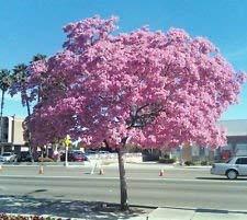 PLAT FIRM Germinazione I semi PLATFIRM-Red Maple, Acer rubrum, 100 semi di albero (autunno colori, Fast, Hardy)