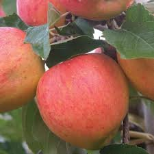 dwarf-patio-fruit-tree-apple-variety-james-grieve-approx-75cm-tall-
