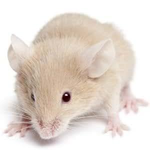 Frozen Mice Medium 10 pack 16-22g