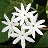 Jasmine plants, the cultural requirements of jasmine (jasminum polyanthum) are simple but exacting. When your plant arrives, put it in a cool room and set it in a window that receives bright light but little or no direct sun. Flowers will open and la...
